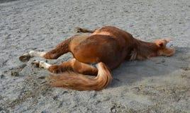在地面的小马辗压 图库摄影