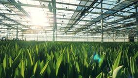 在地面的新鲜的郁金香,生长自一间现代温室 股票视频