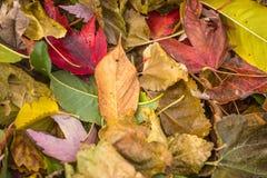 在地面的明亮的五颜六色的秋叶在秋天期间 库存照片