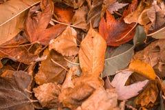 在地面的橙色秋天叶子在秋天季节期间 图库摄影