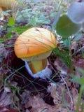 在地面的橙色mashroom 库存照片