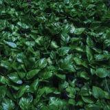 在地面的深绿pothos 免版税库存图片