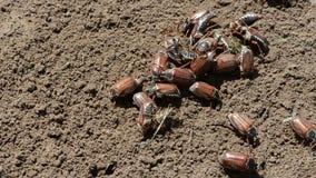 在地面的甲虫 股票视频