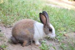 在地面的白色和棕色兔子 免版税库存照片