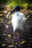 在地面的白色朱鹭在悉尼 免版税图库摄影
