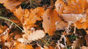 在地面的秋天黄色下落的叶子在森林里 影视素材