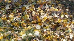 在地面的秋天黄色下落的叶子在森林里 股票视频