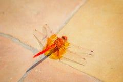 在地面的红色蝴蝶 库存照片