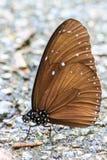 在地面的美丽的蝴蝶 免版税库存图片
