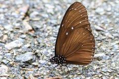在地面的美丽的蝴蝶 免版税图库摄影