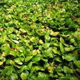 在地面的自然绿色pothos 免版税库存照片