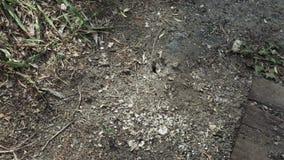 在地面的蚂蚁巢 影视素材
