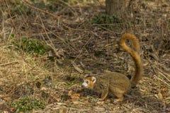 在地面的被加冠的狐猴 库存图片