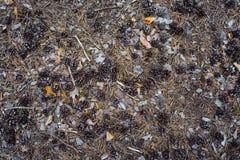 在地面的锥体杉木 免版税图库摄影