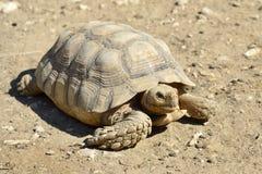 在地面的非洲被激励的草龟 库存图片