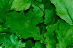 在地面纹理背景的绿色橡木叶子 图库摄影