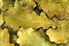 在地面纹理背景的黄色橡木叶子 图库摄影