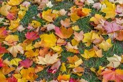在地面背景颜色的槭树叶子 免版税库存照片