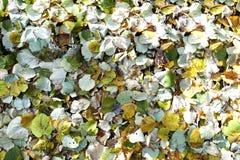 在地面谎言下落的叶子 叶子是continuou 库存图片