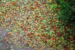 在地面顶视图的下落的枫叶 库存照片
