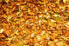 在地面,地毯堆上的叶子在橡木森林里 免版税库存照片