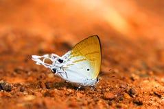 在地面,自然的蝴蝶 免版税图库摄影