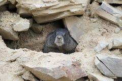 在地鼠岩石之中 免版税库存照片