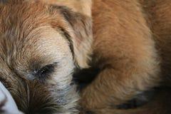 在场面关闭的边界狗 免版税库存照片