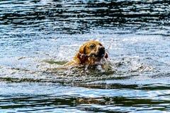 在坎卢普斯不列颠哥伦比亚省,加拿大附近尾随游泳在Stake湖 图库摄影