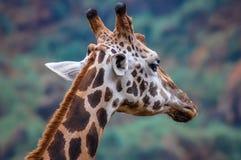 在坎塔布里亚自然储备的长颈鹿 库存图片