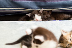 在坐垫之间的两只小猫在一个蓝色长沙发 免版税库存图片