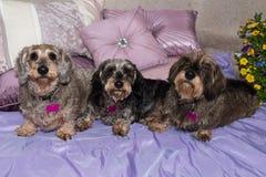 在坐垫的三只相当年长硬毛的微型达克斯猎犬 免版税库存图片