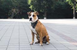 在坐的班丹纳花绸的狗户外 免版税库存图片