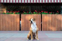 在坐的班丹纳花绸的狗户外 免版税图库摄影