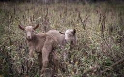 在块的新的孩子 两只几天年纪小山羊 免版税库存照片