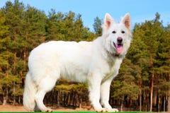 在坚持的牧羊人的狗森林瑞士 免版税库存照片