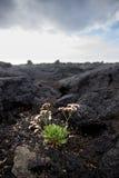 在坚硬熔岩的野花 图库摄影