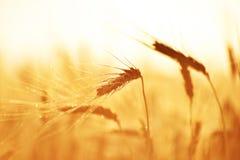 在坚硬红色麦子的露水 图库摄影