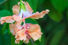 在坚硬雨以后的充分和美好的橙色花绽放在一个豪华的泰国庭院里 免版税图库摄影