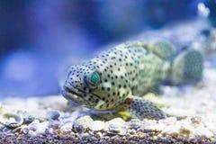 在坦克的珊瑚石斑鱼在水族馆 免版税图库摄影