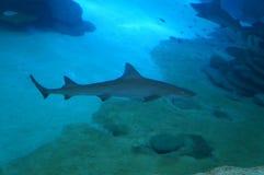 在坦克的鲨鱼 库存图片