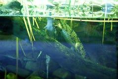在坦克的鳄鱼 库存照片