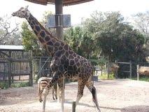 在坦帕动物园的长颈鹿 库存照片
