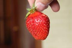 在垂悬在分支的收获期间的草莓 图库摄影