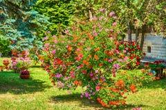 在垂悬的篮子的大竺葵红色紫色桔子难以置信的群塑造了作为树 库存照片