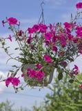 在垂悬的罐的五颜六色的喇叭花 免版税库存图片
