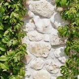 在垂悬绿色葡萄树掩藏的白色石灰石墙壁Backg 免版税库存图片