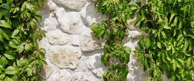 在垂悬绿色葡萄树掩藏的白色石灰石墙壁Backg 免版税库存照片