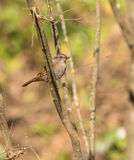 在垂直的分支栖息的篱雀之类的鸟 库存图片