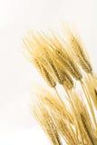 在垂直的构成的大麦 库存图片